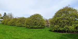 """On the way to my pool are my six standard weeping hornbeams located on one side of what I call """"Truman's soccer field"""". Botanically known as Carpinus betulus 'pendula', the weeping hornbeam is deciduous and has a tight, dense growth pattern. I keep a close eye on all my hornbeams – it's crucial that they are pruned regularly, so they never look too overgrown."""