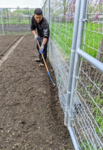 This year, we're planting the sweet peas along the front and back fence of my vegetable garden.
