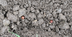 These seeds are planted just a couple inches apart. Look closely and you can see each of the seeds.
