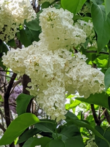 They benefit from regular watering at planting, during bloom, and heavy growth periods. Once established, however, they are fairly drought-tolerant. This is a lovely pure white lilac.