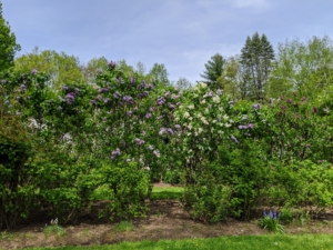 Lilacs appear from mid-spring to early summer just before many of the other summer flowers blossom. Young lilacs can take up to three-years to reach maturity and bear flowers - be patient.