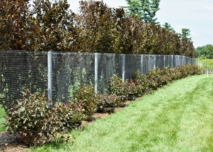 Three years ago, when planning the gardens around my pool, I wanted to create a natural border along both sides of my pool fence, so I chose a dark purple color palette. The taller hedge is made of purple columnar beech trees, Fagus sylvatica 'Dawyck Purple' - a splendid tree with deep-purple foliage. The smaller shrubs are the alternating Physocarpus opulifolius 'Diabolo' and Cotinus coggygria 'Royal Purple'. They were still quite small when they were planted three years ago.