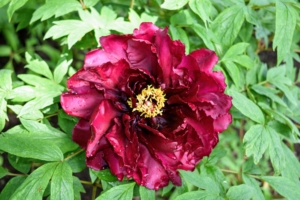 The tree peonies are also starting to bloom, so Ryan cut several for the table as well. Peonies come in colors that include all ranges of white, pink, magenta, and dark maroon.