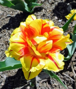 This tulip is yellow with bright red streaks - a wonderful flower for cut arrangements.