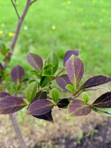 Its leaves emerge purple-maroon, becoming maroon-green later in the season.