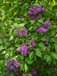 Last week, so many of the shrubs were full of giant blooms - the fragrance was intoxicating.