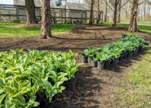The plan was to plant lots and lots of hostas. Their lush green foliage varying in leaf shape, size and texture, and their easy care requirements make them ideal for many areas. Hosta is a genus of plants commonly known as hostas, plantain lilies and occasionally by the Japanese name, giboshi. They are native to northeast Asia and include hundreds of different cultivars.