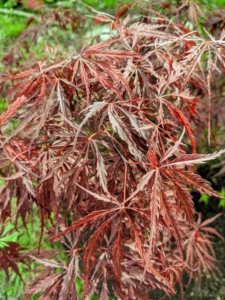 The foliage on this maple is deeply lobed with a beautiful red color throughout the summer. The color turns bright red in the fall. The palmate leaves have lobes cut to the base of the leaf.