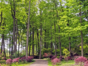 """Over the years, I've planted hundreds of Japanese maples in this area. My first Japanese maples, 117 of them to be exact, were planted 2009. In 2014, we planted 150 more. And since then, I've continued to add rare and unusual varieties. I named this woodland 'The Laura Plimpton Japanese Maple Grove,"""" in memory of my dear sister who loved these beautiful trees."""