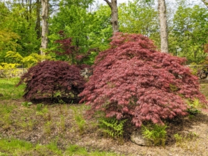 With more than a thousand varieties and cultivars including hybrids, the iconic Japanese maple tree is among the most versatile small trees for use in the landscape. In fact, it is the highlight of every Japanese garden.