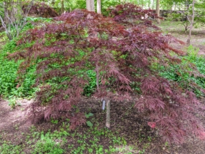Japanese maples are hardy in zones 5 through 8. A hardiness zone is a geographic area defined to encompass a certain range of climatic conditions relevant to plant growth and survival. My farm is in zone 6.