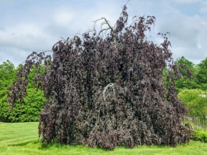 One one side of the pergola is this giant weeping copper beech tree – I love these trees with their gorgeous forms and rich color. I have several large specimens on the property.