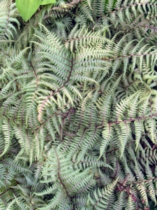 Japanese painted ferns are beautiful mounds of dramatic foliage with luminescent blue-green fronds and dark central ribs that fade to silver at the edges.