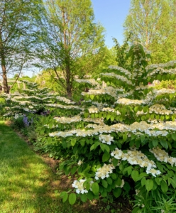 In another area, two gorgeous blooming Viburnum. The viburnums look spectacular this year.