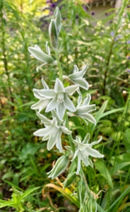 This is a white and green variety of Ornithogalum. It has multiple green-gray flowers per stem, each etched with soft white on the outer petals.