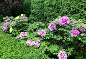 And look at the glorious peonies. Tree peonies are larger, woody relatives of the common herbaceous peony, growing up to five feet wide and tall in about 10 years. They are highly prized for their large, prolific blooms that can grow up to 10 inches in diameter. This entire side is filled with flowers.