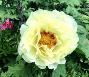 I also have bright creamy yellow tree peonies in this garden. Peonies bloom in a wide range of forms, from simple, elegant singles to massive doubles with hundreds of petals. The best soil for growing must be deep, rich, and loose, with a pH between 6.5 and 7.0 – peonies prefer slightly alkaline soil.
