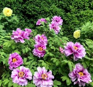 They don't need much, but I often prune the tree peonies myself and have found that pruning to about a four to five-foot height creates a wonderful eye-level view of blooms.
