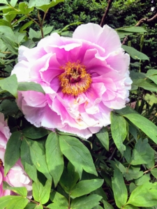 Here's a light pink variety. A mature plant can have an abundance of flowers. Peony leaves are alternate and deeply dissected. Leaflets are stalked, pale green above, blue-green beneath, and up to four inches in size.