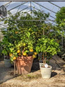 Here at the farm, I have five different greenhouses. I call this one the citrus greenhouse. It works by heating and circulating air to create an artificial tropical environment. All my citrus plants and tropical specimens spend about seven months of the year in these temperature-controlled shelters.