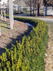 In March, we removed the protective burlap that encases all the boxwood at the farm in winter. These boxwood shrubs were grown from small saplings nurtured right here in one area of my vegetable garden next to my chicken coops. They've grown so much since we planted them four years ago.
