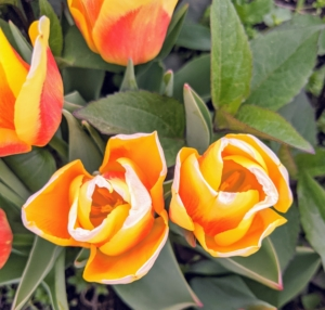 Tulips have been hybridized in just about every color except blue. Most tulips have one flower per stem, but there are some multi-flowered varieties.