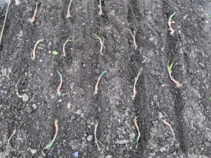 And here is the section of the bed showing more than a dozen onion plants ready to go into the ground. By nature, onions are biennial plants. They grow from a seed, to a plant, and then into a dormant bulb the first year. Then, in spring, the bulb begins growing again and produces a flower spike. Fertilized flowers produce seeds, and the life cycle is complete.