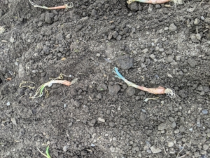 Here are two onions well-placed in the furrow.