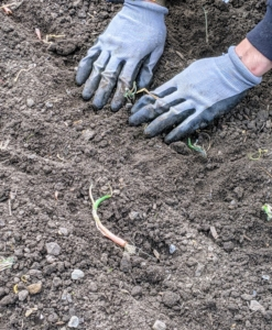 Be sure the onion roots are well covered with soil, and that the top of the plant's neck isn't covered too deeply. If too much of the plant is buried, the growth of the onion will be reduced and constricted. Once the plant is in the ground, Brian firms up the soil around it.