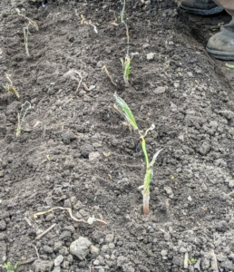 Onion plants generally grow from one to three feet tall and up to a one-foot spread. It is best to rotate onion crops. Last year, we planted our onions in the garden adjacent to this one.