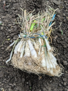 Although the white onion makes up only five-percent of the American onion harvest, it is the all-purpose onion. It has pure white skin and sweet, mild white flesh. White onions are commonly used in sauces, pasta salads, and in Mexican and Southwestern cuisines.