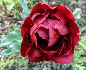 Here is a breathtaking variety - rich burgundy-hued blooms on strong stems.