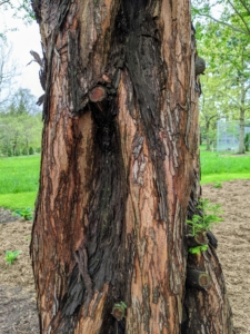 The bark of the dawn redwood is a reddish orange color and becomes deeply fissured as the tree matures.