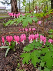 Also in this bed is Dicentra - an elegant, easy-to-care-for perennial for shady gardens. More commonly known as bleeding heart, it is named for its heart-shaped blossoms that dangle from slender, arching stems. Dicentra is a great companion for other shade loving perennials such as hosta, astilbe and ferns.