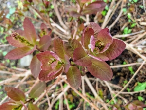 I love Continus - a few are also planted in this space. The smooth, rounded leaves come in exceptional shades of clear pinkish-bronze, yellow, deep purple, and green.