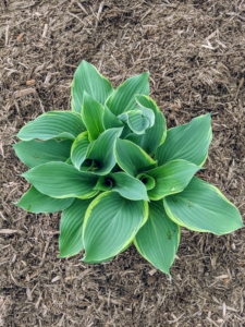 And 'Regal Splendor' is a large hosta featuring thick, wavy-undulate, blue-gray leaves with irregular creamy white to pale yellow margins and cuspidate tips. Bell-shaped, lavender flowers bloom in mid to late summer.