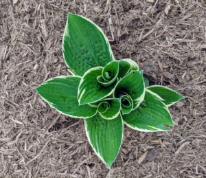 This variety is called 'Francee' with dark green, heart-shaped leaves and narrow, white margins. A vigorous grower, this hosta blooms in mid to late summer.