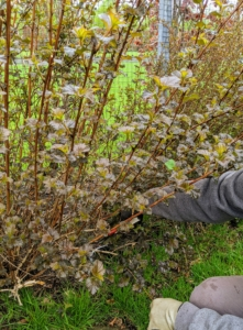 Here, Ryan also trims any branches that are sticking out too much from the front, making the shrub look less manicured.
