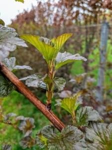 Here is what the new growth looks like on the Physocarpus - the stem is still quite soft.