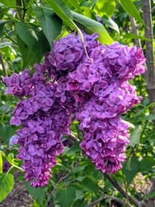 And 'Adelaide Dunbar' is a disease-resistant common lilac, with spikes of sweet-scented, double, purple flowers.