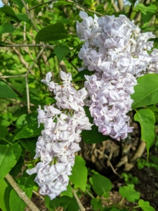 Although lilacs display flowers among the most delicate of the ornamentals, some newer hybrid varieties can survive winter temperatures of 60-degrees-below-zero Fahrenheit.