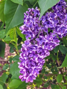 'Sensation', first known in 1938, is unique for its bicolor deep-purple petals edged in white on eight to 12-foot-tall shrubs.