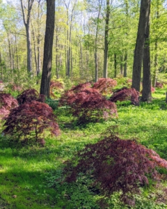 Japanese maples are relatively small trees and when many are planted together, they make an extraordinary grove. Japanese maples typically grow about one-foot per year for the first 50-years, but they can live to be more than a hundred.