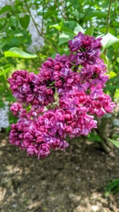 Most lilacs thrive in hardiness zones 3 through 7, in cooler climates with chilling periods. Lilacs are typically clump forming, producing new shoots from the base of the trunk, which can be used for propagating.
