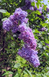 The lilac, Syringa vulgaris, is a species of flowering plant in the olive family Oleaceae. Syringa is a genus of up to 25-cultivated species with more than one-thousand varieties.