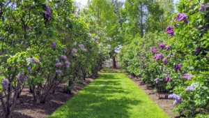 By planting an assortment, bloom time will be staggered and can last for up to two-months. Lilacs should be pruned each year shortly after blooming has completed. At that time, remove spent flowers, damaged branches and old stems, but never prune after July 4th because at that point, the tree has already begun to set next year's flower buds.