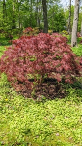 Japanese maples grow well in moist, organically rich, well-drained soil. Their forms can be weeping, rounded, dwarf, mounding, upright, or cascading.
