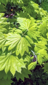 Here is an interesting maple. 'Golden Full Moon' maple is a bushy, medium-sized deciduous shrub or small tree noted for its spectacular foliage. It shows intensely bright yellow-green leaves in spring. They are also rounded with seven to nine sharply pointed lobes that gradually turn pale chartreuse as the season progresses.
