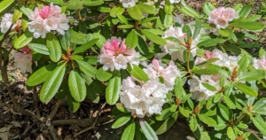 I've also planted some beautiful rhododendrons in this garden. This is 'Yaku Princess' with unique, bushy, compactly branched low growth. In mid spring spheres of pinkish-white blooms with deeper pink and green spotting on the florets appear, and trusses of apple-blossom pink buds open to white.