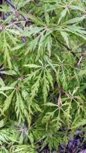 This variety has feather-soft green foliage that cascades to the ground.